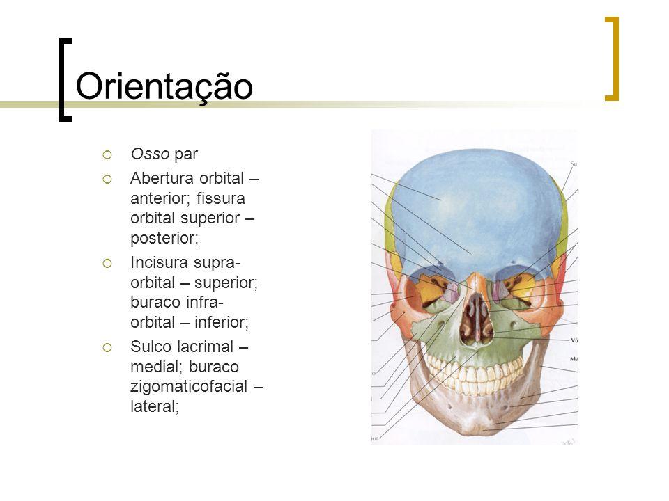 Orientação Osso par Abertura orbital – anterior; fissura orbital superior – posterior; Incisura supra- orbital – superior; buraco infra- orbital – inf