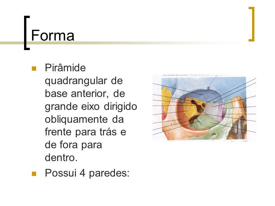 Forma Pirâmide quadrangular de base anterior, de grande eixo dirigido obliquamente da frente para trás e de fora para dentro. Possui 4 paredes: