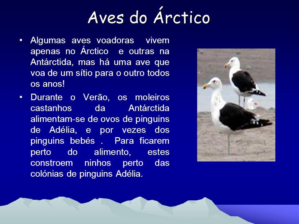 Aves do Árctico Algumas aves voadoras vivem apenas no Árctico e outras na Antárctida, mas há uma ave que voa de um sítio para o outro todos os anos! D
