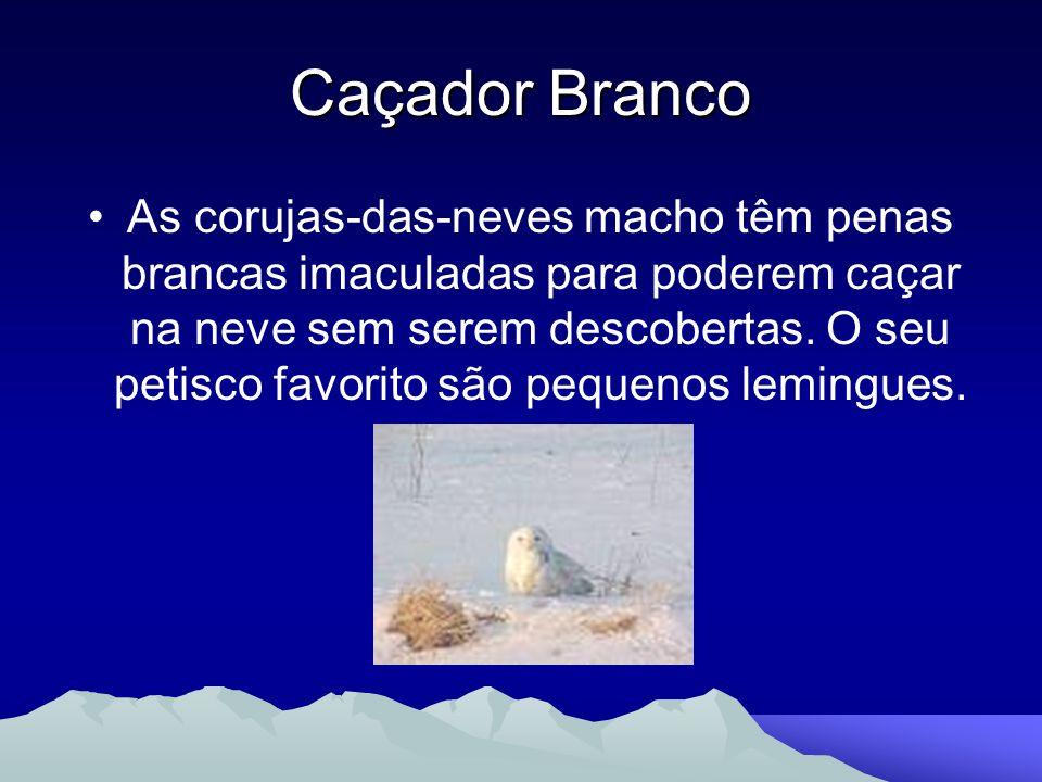 Caçador Branco As corujas-das-neves macho têm penas brancas imaculadas para poderem caçar na neve sem serem descobertas. O seu petisco favorito são pe