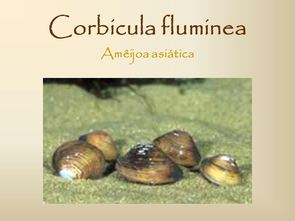 Estrutura do trabalho: Introdução ao tema das espécies invasoras; Breve apresentação do estuário do Rio Minho; Abordagem à espécie invasora Corbicula fluminea.