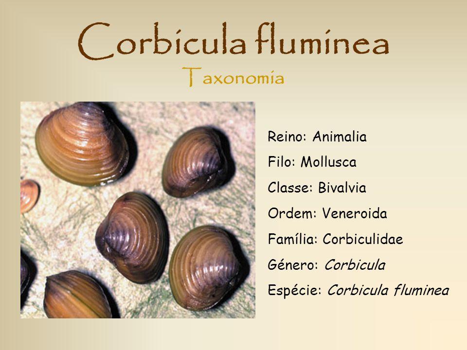 Corbicula fluminea Reino: Animalia Filo: Mollusca Classe: Bivalvia Ordem: Veneroida Família: Corbiculidae Género: Corbicula Espécie: Corbicula flumine