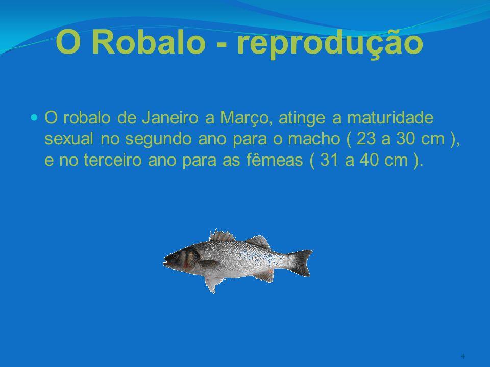 4 O Robalo - reprodução O robalo de Janeiro a Março, atinge a maturidade sexual no segundo ano para o macho ( 23 a 30 cm ), e no terceiro ano para as