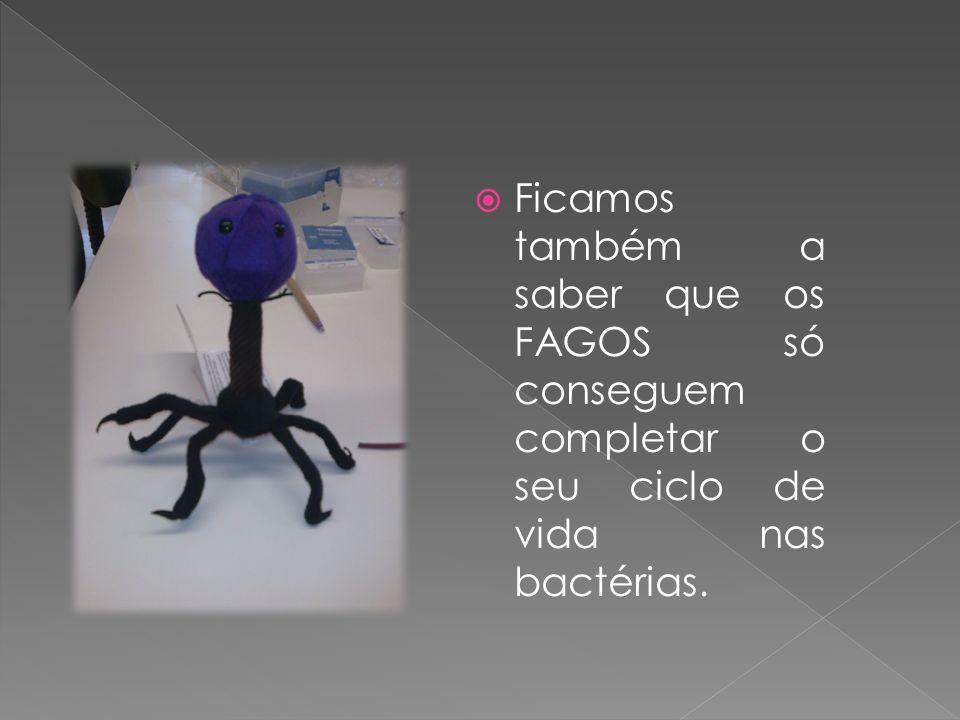 Ficamos também a saber que os FAGOS só conseguem completar o seu ciclo de vida nas bactérias.
