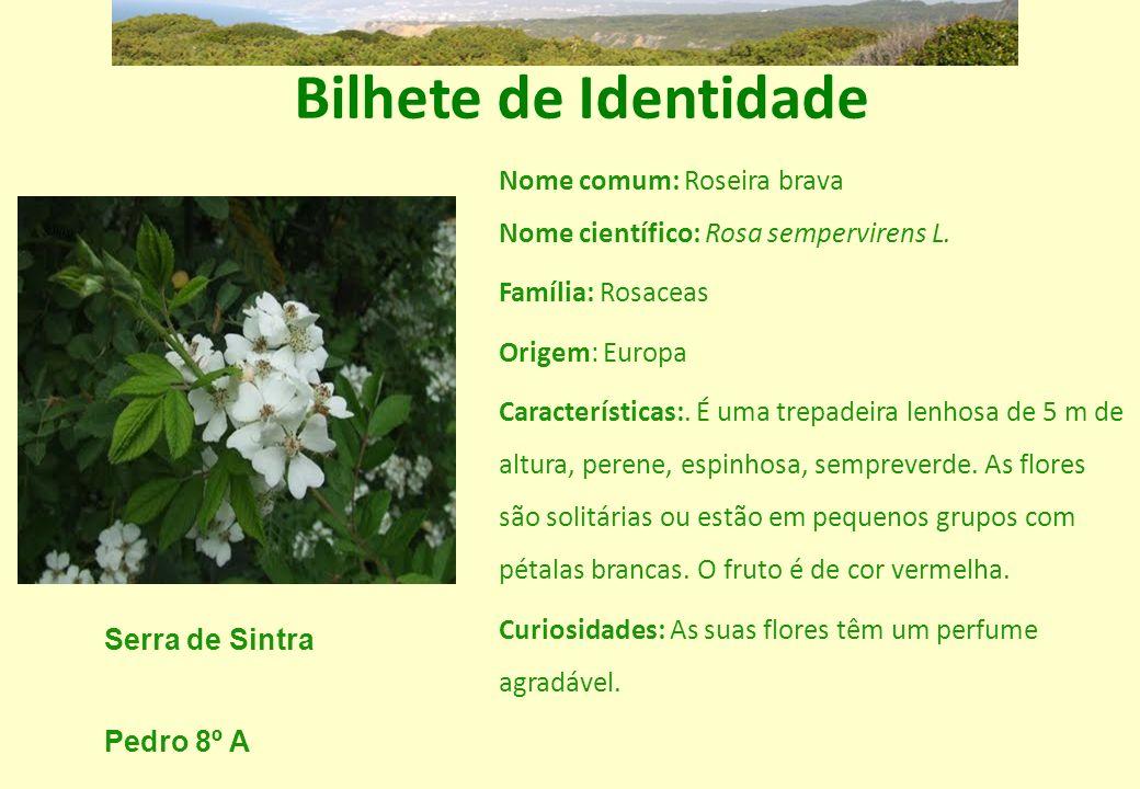 Bilhete de Identidade Nome comum: Roseira brava Nome científico: Rosa sempervirens L. Família: Rosaceas Origem: Europa Características:. É uma trepade