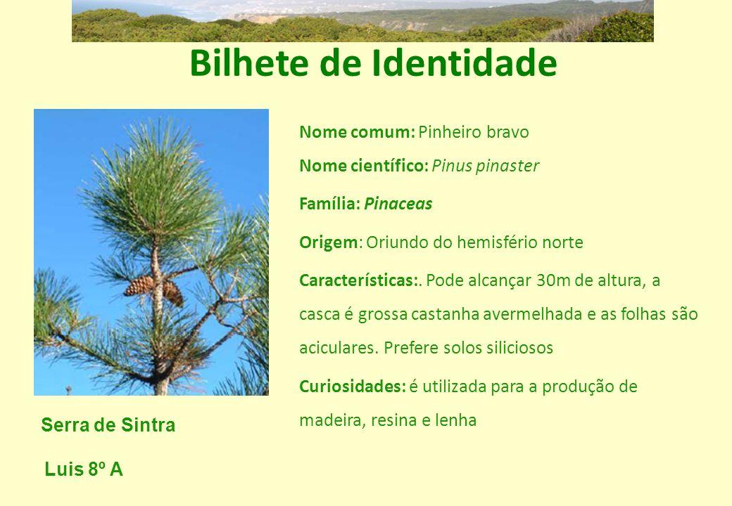 Bilhete de Identidade Nome comum: Pinheiro bravo Nome científico: Pinus pinaster Família: Pinaceas Origem: Oriundo do hemisfério norte Características