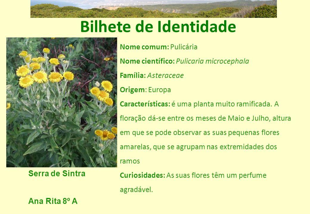 Bilhete de Identidade Nome comum: Pulicária Nome científico: Pulicaria microcephala Família: Asteraceae Origem: Europa Características: é uma planta m
