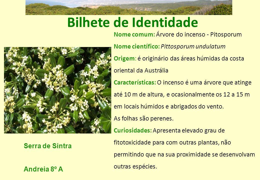 Bilhete de Identidade Nome comum: Árvore do incenso - Pitosporum Nome científico: Pittosporum undulatum Origem: é originário das áreas húmidas da cost