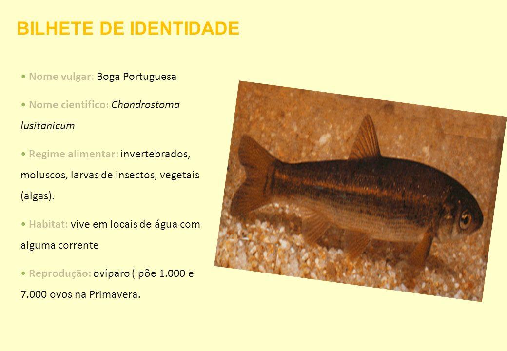 Nome vulgar: Boga Portuguesa Nome cientifico: Chondrostoma lusitanicum Regime alimentar: invertebrados, moluscos, larvas de insectos, vegetais (algas)