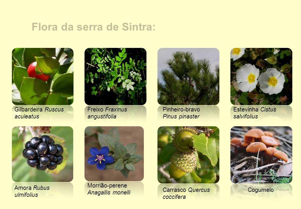 Flora da serra de Sintra: Estevinha Cistus salvifolius Gilbardeira Ruscus aculeatus Freixo Fraxinus angustifolia Carrasco Quercus coccifera Cogumelo M