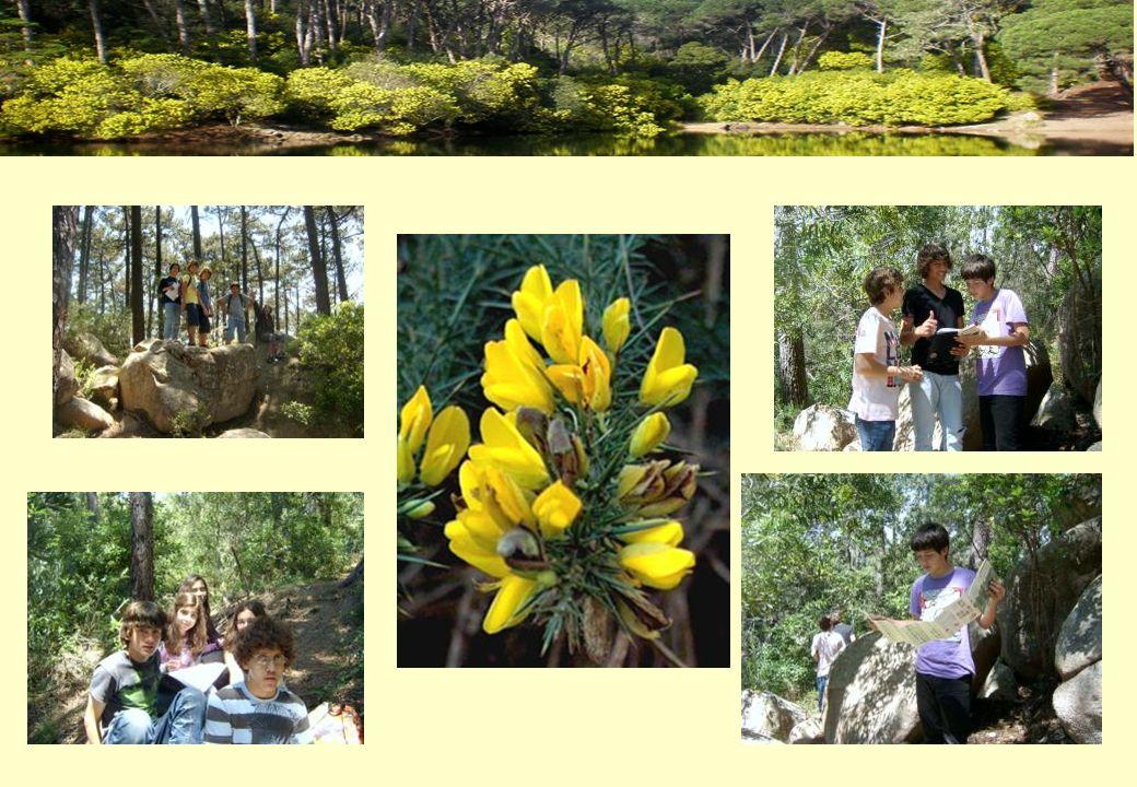 Bilhete de Identidade Nome comum: Pinheiro bravo Nome científico: Pinus pinaster Família: Pinaceas Origem: Oriundo do hemisfério norte Características:.