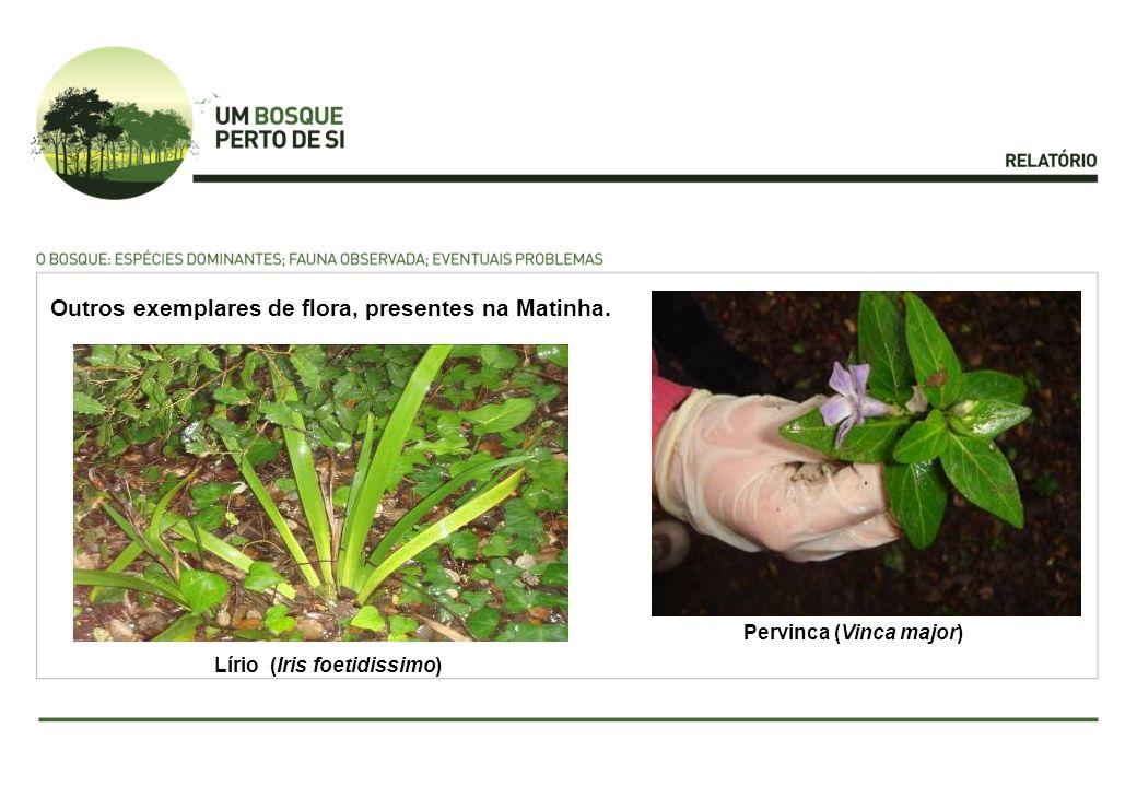 Lírio (Iris foetidissimo) Pervinca (Vinca major) Outros exemplares de flora, presentes na Matinha.