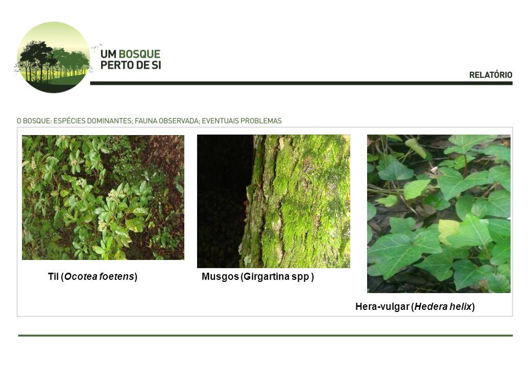 Hera-vulgar (Hedera helix) Musgos (Girgartina spp )Til (Ocotea foetens)