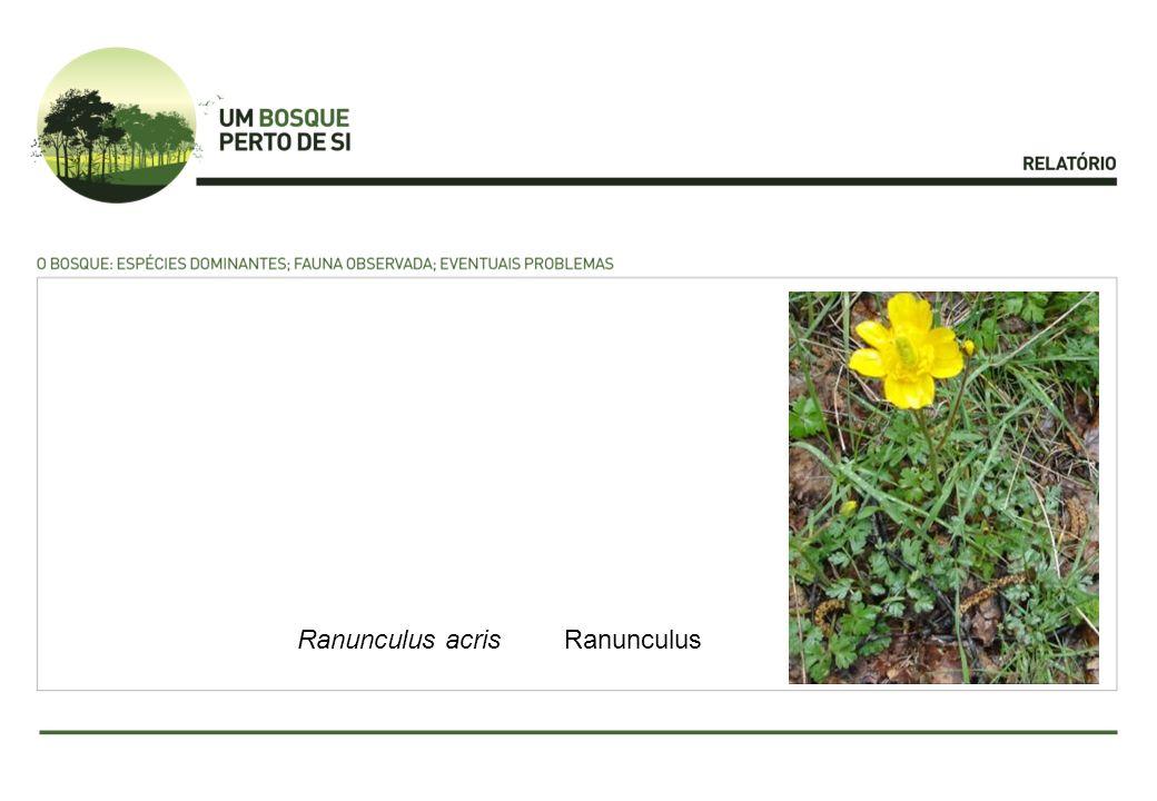 PrimulaDificuldade devido à ausência de flor.