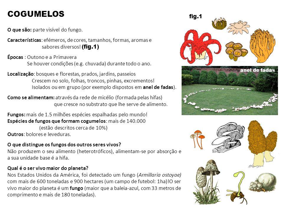 COGUMELOS O que são: parte visível do fungo. Características: efémeros, de cores, tamanhos, formas, aromas e sabores diversos! (fig.1) Épocas : Outono