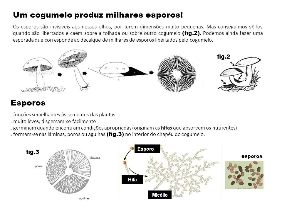 Um cogumelo produz milhares esporos! Os esporos são invisíveis aos nossos olhos, por terem dimensões muito pequenas. Mas conseguimos vê-los quando são
