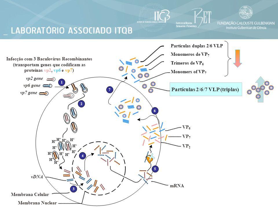Membrana Nuclear Membrana Celular Infecção com 3 Baculovirus Recombinantes (transportam genes que codificam as proteínas vp2, vp6 e vp7) vp2 gene vp6