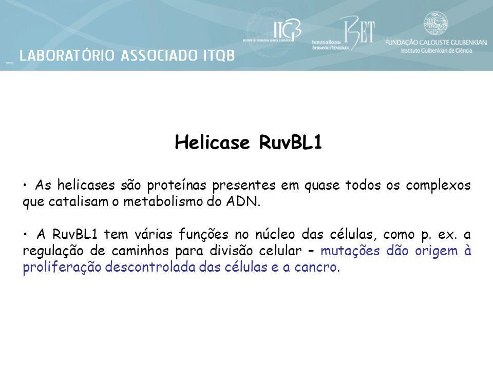 Helicase RuvBL1 As helicases são proteínas presentes em quase todos os complexos que catalisam o metabolismo do ADN. A RuvBL1 tem várias funções no nú