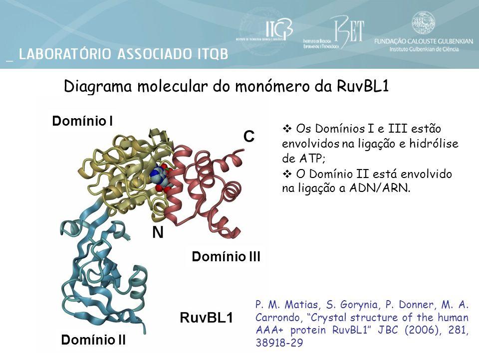 Diagrama molecular do monómero da RuvBL1 Os Domínios I e III estão envolvidos na ligação e hidrólise de ATP; O Domínio II está envolvido na ligação a