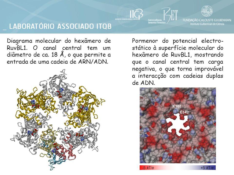 Diagrama molecular do hexâmero de RuvBL1. O canal central tem um diâmetro de ca. 18 Å, o que permite a entrada de uma cadeia de ARN/ADN. Pormenor do p
