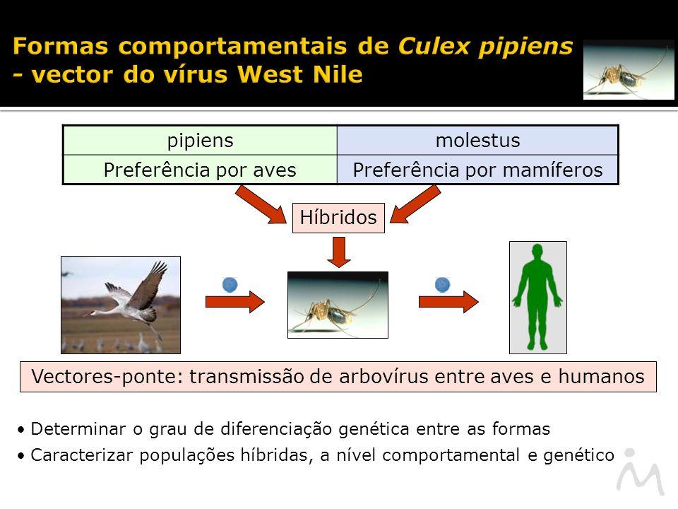 Formas comportamentais de Culex pipiens - vector do vírus West Nile pipiensmolestus Preferência por avesPreferência por mamíferos Híbridos Determinar o grau de diferenciação genética entre as formas Caracterizar populações híbridas, a nível comportamental e genético Vectores-ponte: transmissão de arbovírus entre aves e humanos