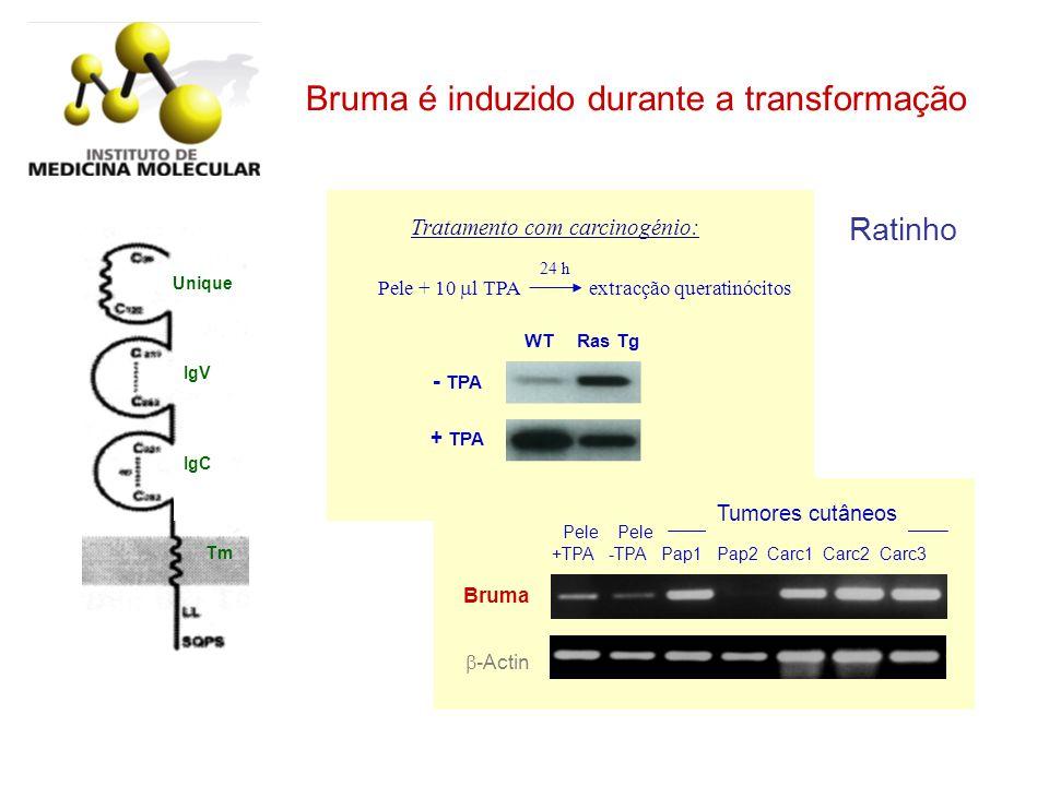 Pele + 10 l TPA extracção queratinócitos 24 h Tratamento com carcinogénio: - TPA + TPA WT Ras Tg Ratinho IgC IgV Unique Tm -Actin Pele Pele +TPA -TPA