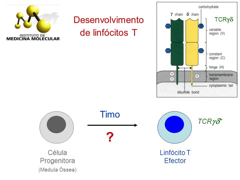 Desenvolvimento de linfócitos T Linfócito T Efector Célula Progenitora (Medula Óssea) Timo TCR + ? TCR