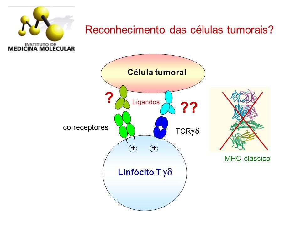 Célula tumoral Ligandos Linfócito T TCR co-receptores + + ?? ? MHC clássico Reconhecimento das células tumorais?