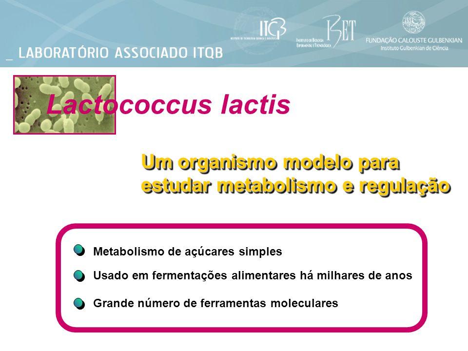 Lactococcus lactis Um organismo modelo para estudar metabolismo e regulação Metabolismo de açúcares simples Usado em fermentações alimentares há milha