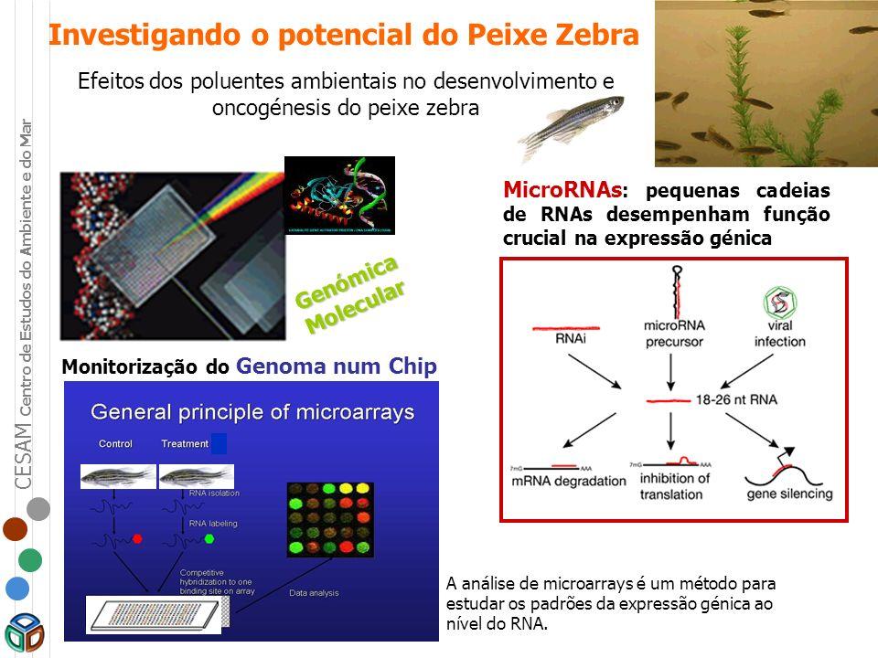 CESAM Centro de Estudos do Ambiente e do Mar Investigando o potencial do Peixe Zebra Efeitos dos poluentes ambientais no desenvolvimento e oncogénesis