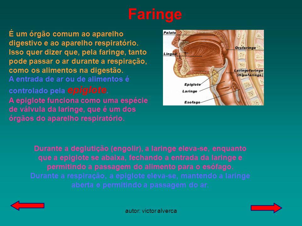 autor: victor alverca Durante a deglutição (engolir), a laringe eleva-se, enquanto que a epiglote se abaixa, fechando a entrada da laringe e permitindo a passagem do alimento para o esófago.