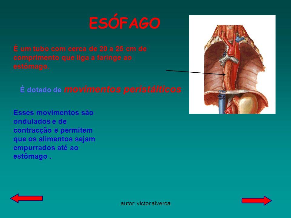 autor: victor alverca ESÓFAGO É um tubo com cerca de 20 a 25 cm de comprimento que liga a faringe ao estômago.