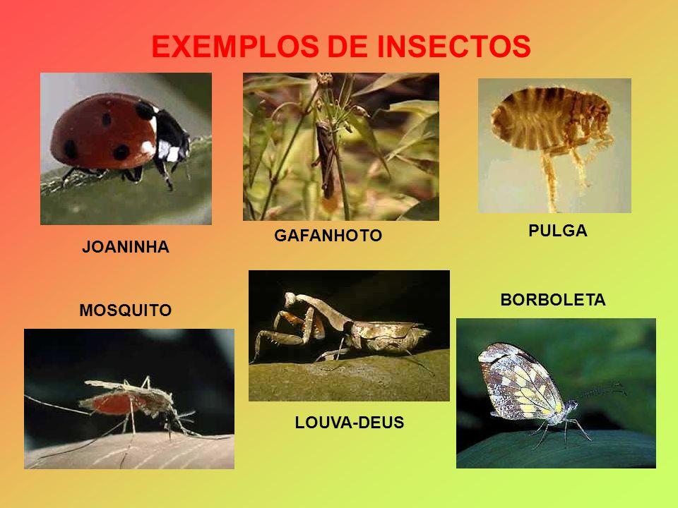 EXEMPLOS DE INSECTOS JOANINHA MOSQUITO PULGA GAFANHOTO BORBOLETA LOUVA-DEUS
