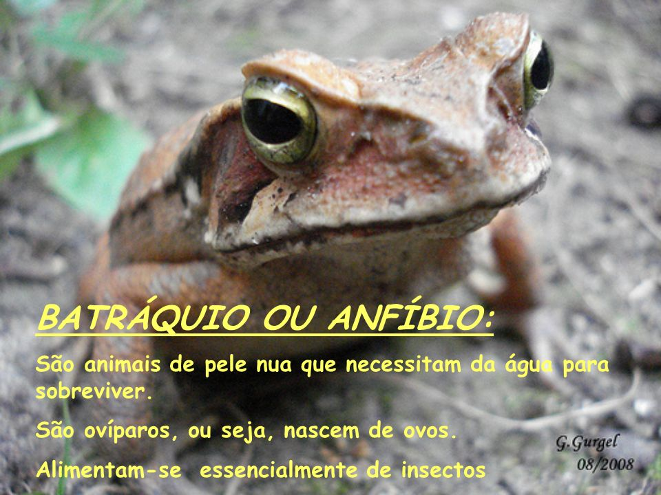 BATRÁQUIO OU ANFÍBIO: São animais de pele nua que necessitam da água para sobreviver. São ovíparos, ou seja, nascem de ovos. Alimentam-se essencialmen