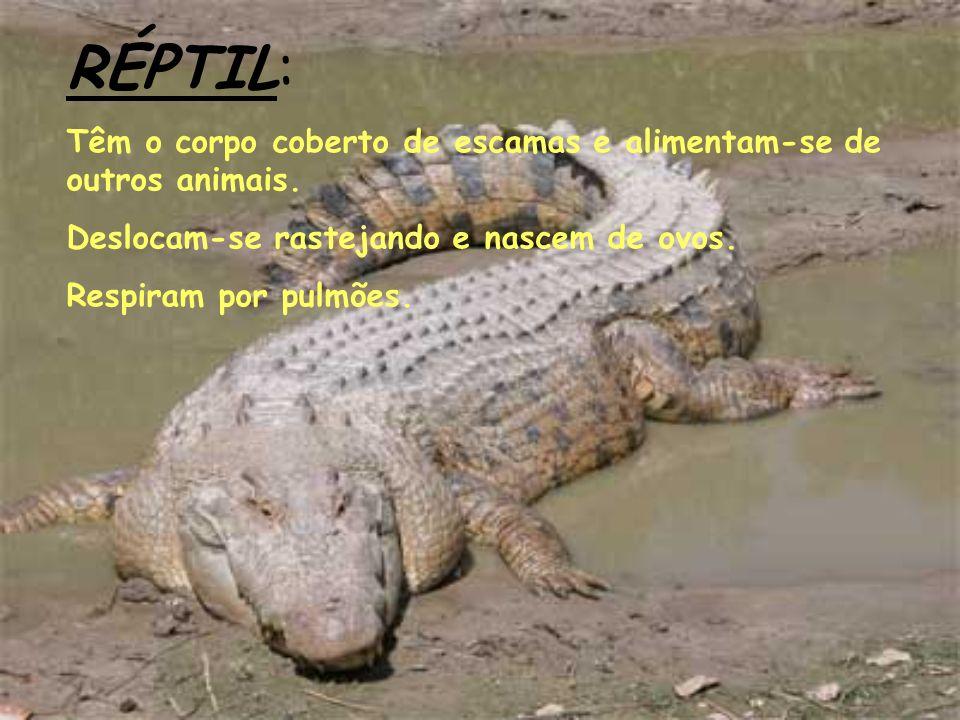 RÉPTIL: Têm o corpo coberto de escamas e alimentam-se de outros animais. Deslocam-se rastejando e nascem de ovos. Respiram por pulmões.