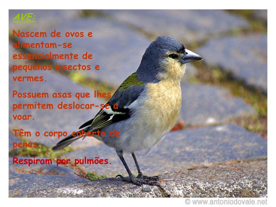AVE: Nascem de ovos e alimentam-se essencialmente de pequenos insectos e vermes. Possuem asas que lhes permitem deslocar-se a voar. Têm o corpo cobert