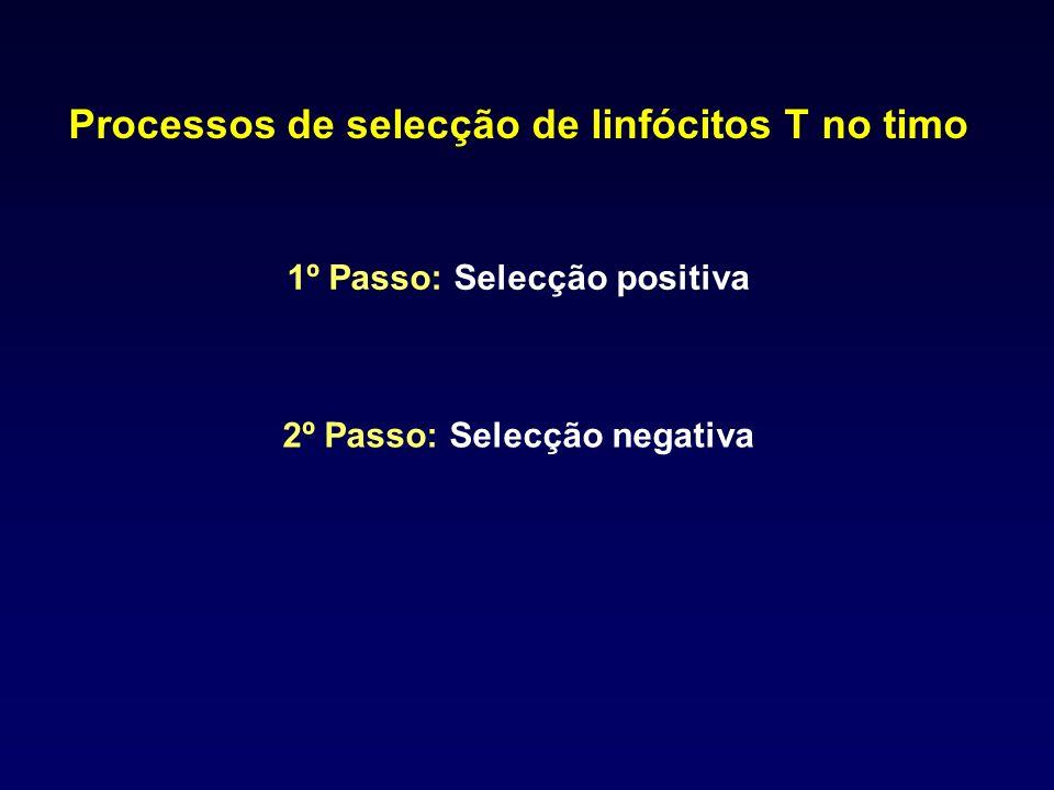 Processos de selecção de linfócitos T no timo 1º Passo: Selecção positiva 2º Passo: Selecção negativa