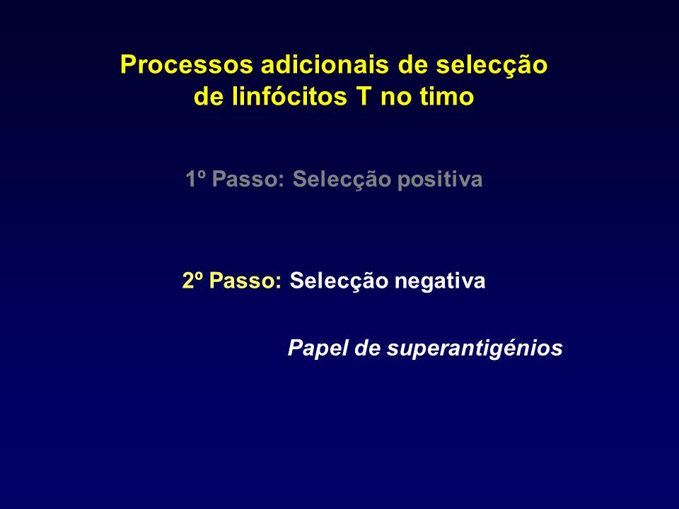Processos adicionais de selecção de linfócitos T no timo 1º Passo: Selecção positiva 2º Passo: Selecção negativa Papel de superantigénios