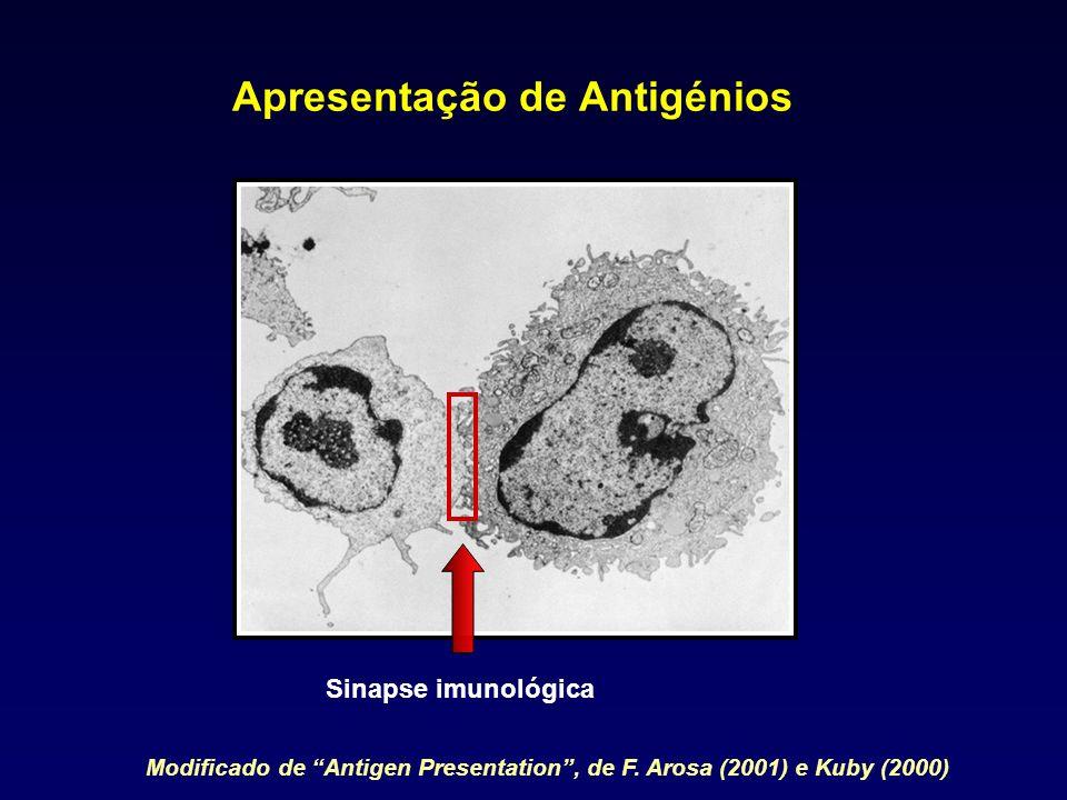 Apresentação de Antigénios Sinapse imunológica Modificado de Antigen Presentation, de F. Arosa (2001) e Kuby (2000)