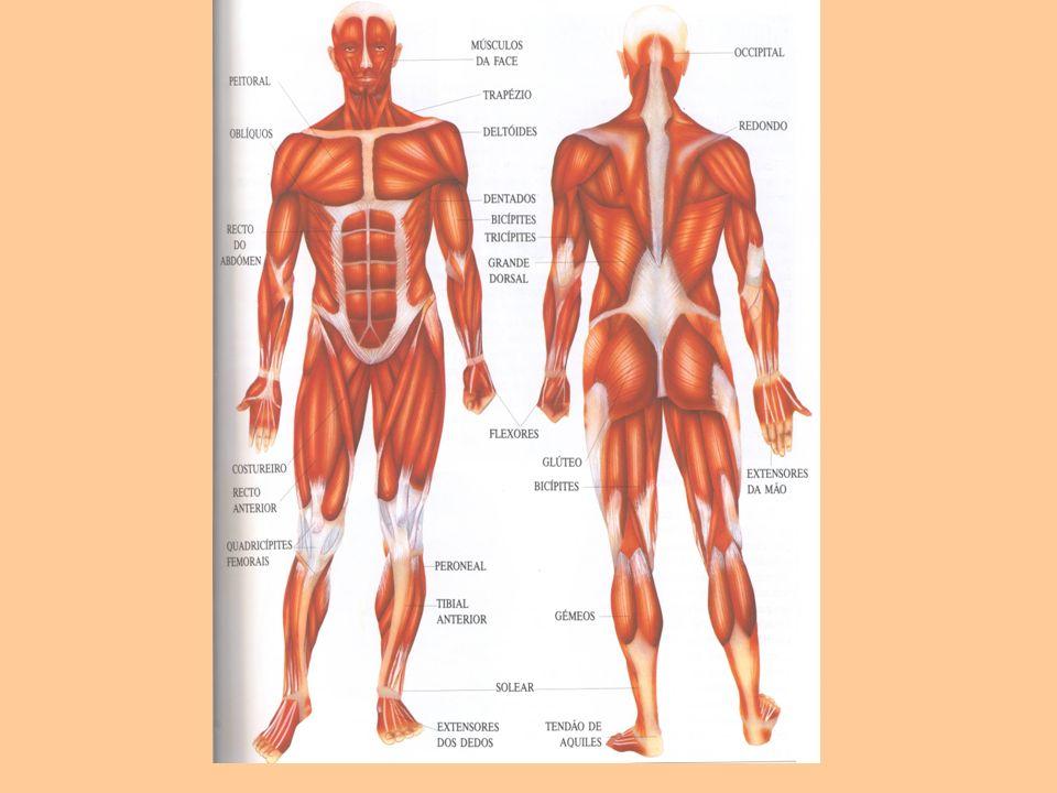 No corpo humano há músculos que não estão ligados aos ossos e que se movimentam sem dependerem da nossa vontade.