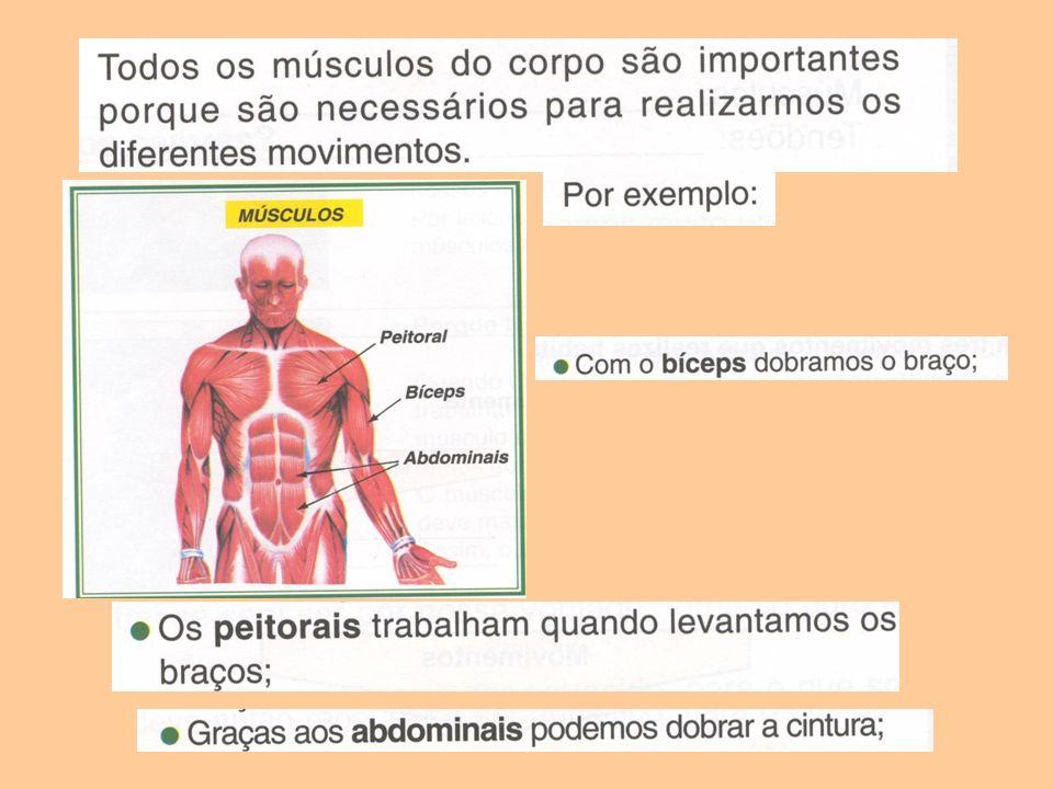 Os músculos têm duas funções principais: Ligam-se aos ossos através de tendões e suportam-nos.