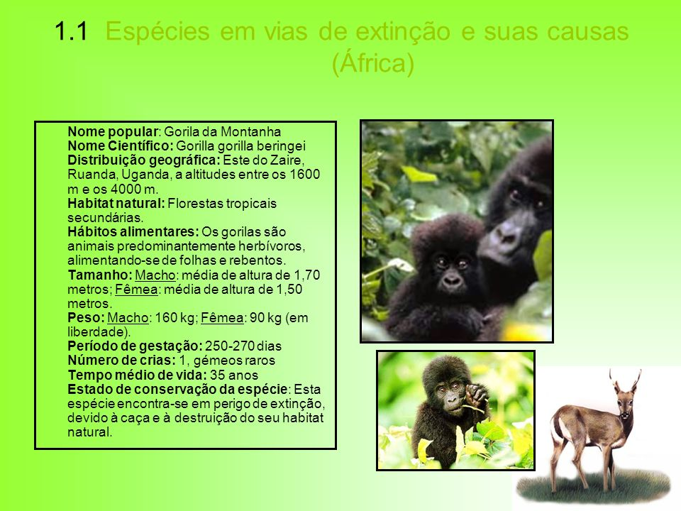 1.1 Espécies em vias de extinção e suas causas (África) Nome popular: Gorila da Montanha Nome Científico: Gorilla gorilla beringei Distribuição geográ
