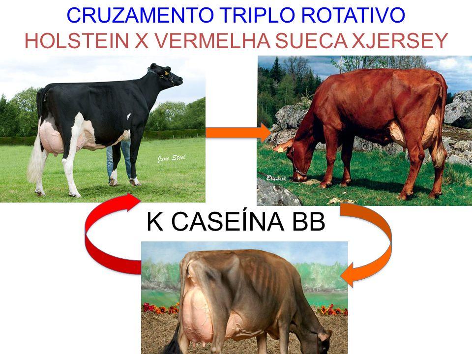 CRUZAMENTO TRIPLO ROTATIVO HOLSTEIN X VERMELHA SUECA XJERSEY K CASEÍNA BB