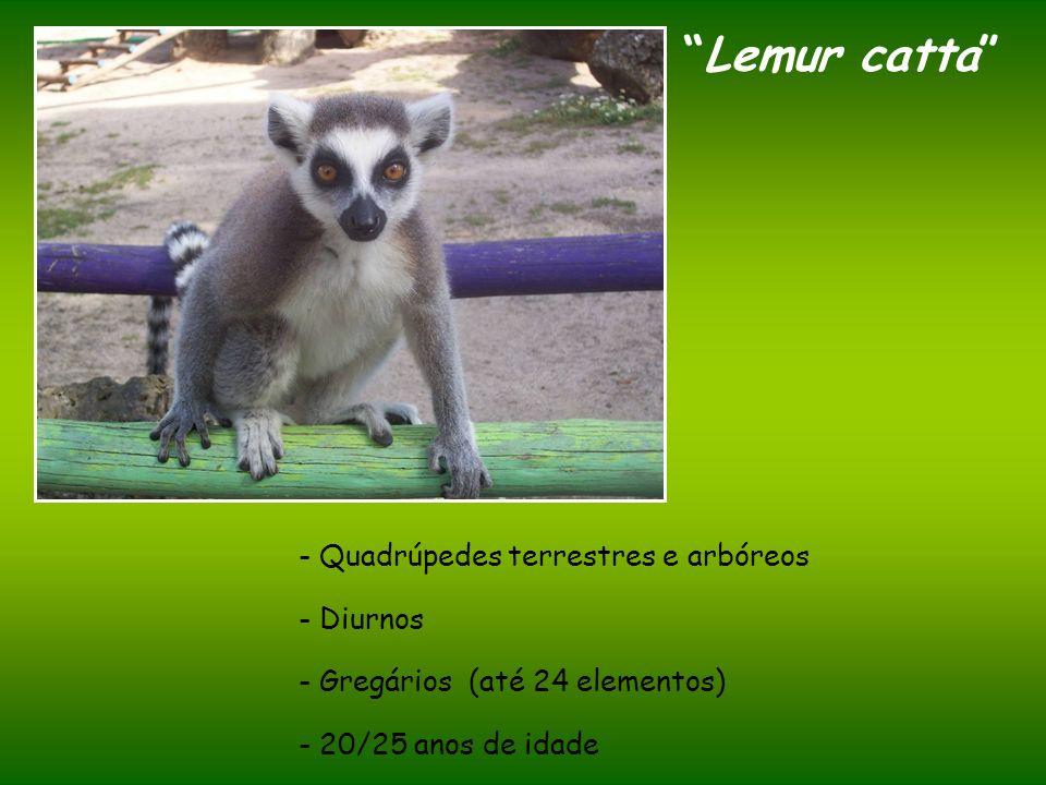 Lemur catta - Quadrúpedes terrestres e arbóreos - Diurnos - Gregários (até 24 elementos) - 20/25 anos de idade