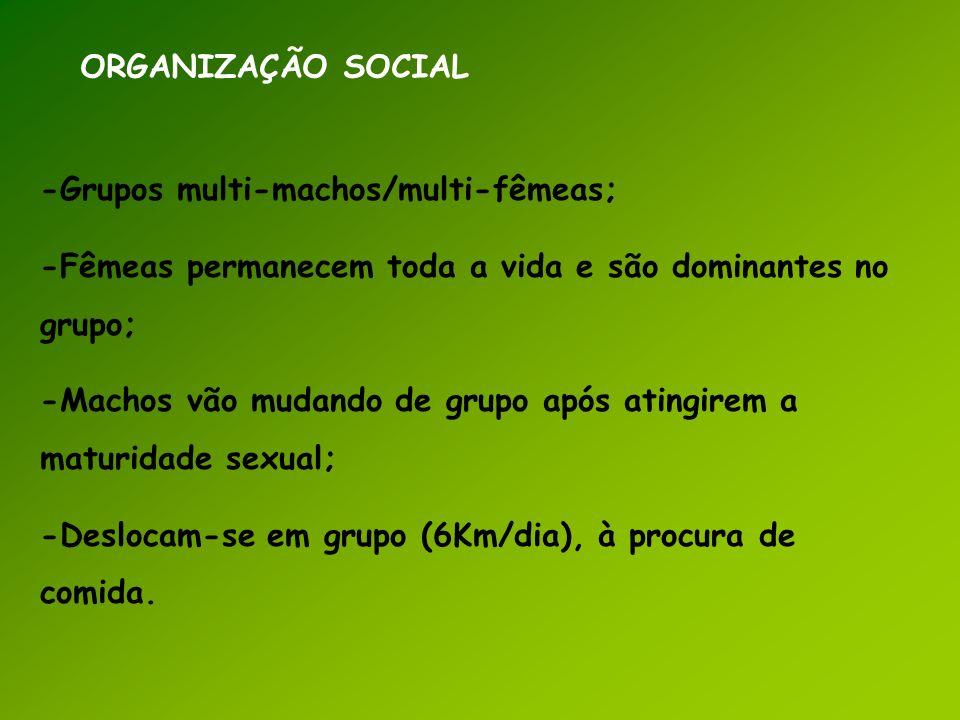 ORGANIZAÇÃO SOCIAL -Grupos multi-machos/multi-fêmeas; -Fêmeas permanecem toda a vida e são dominantes no grupo; -Machos vão mudando de grupo após atin