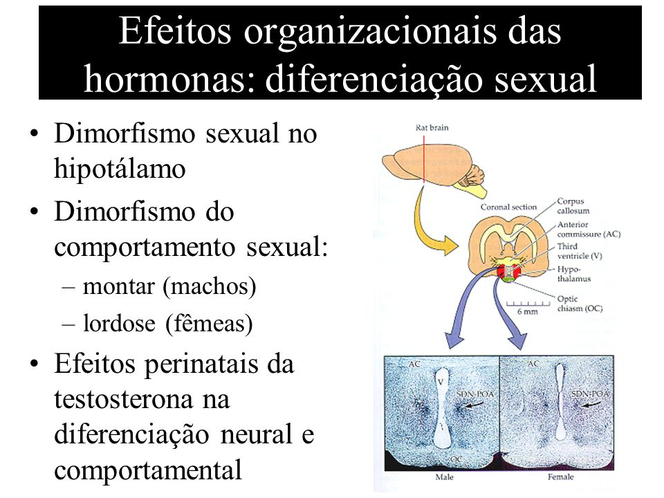 Efeitos organizacionais das hormonas: diferenciação sexual Dimorfismo sexual no hipotálamo Dimorfismo do comportamento sexual: –montar (machos) –lordo