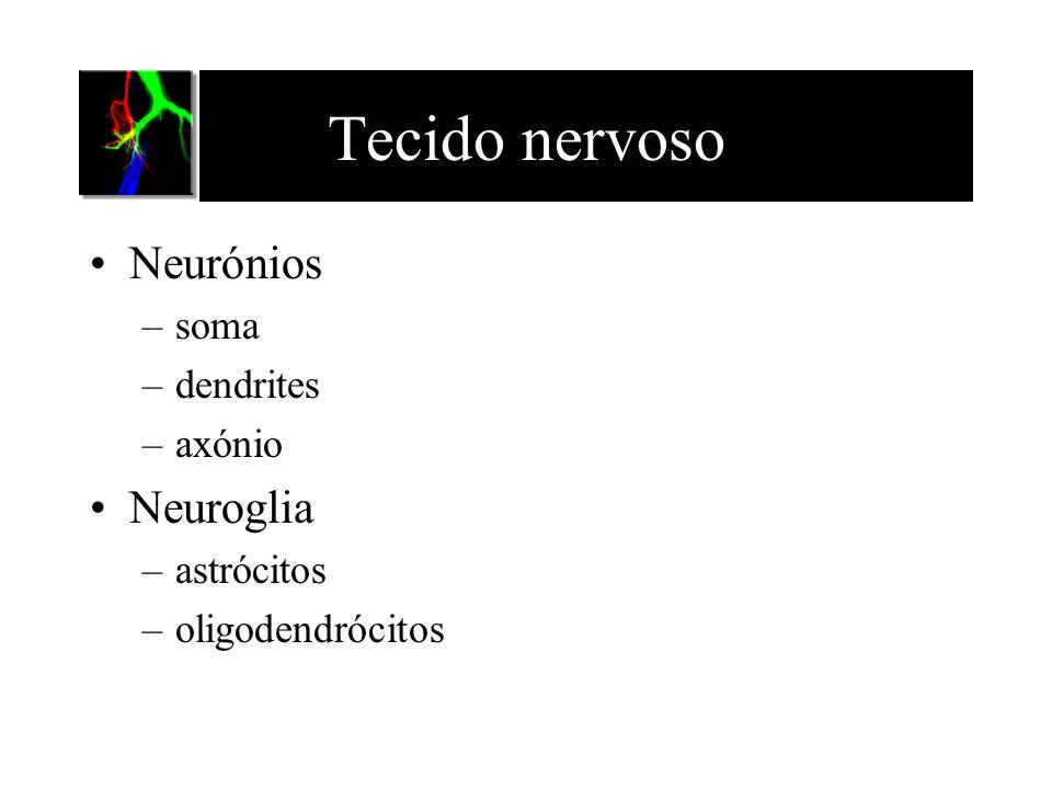 Tecido nervoso Neurónios –soma –dendrites –axónio Neuroglia –astrócitos –oligodendrócitos