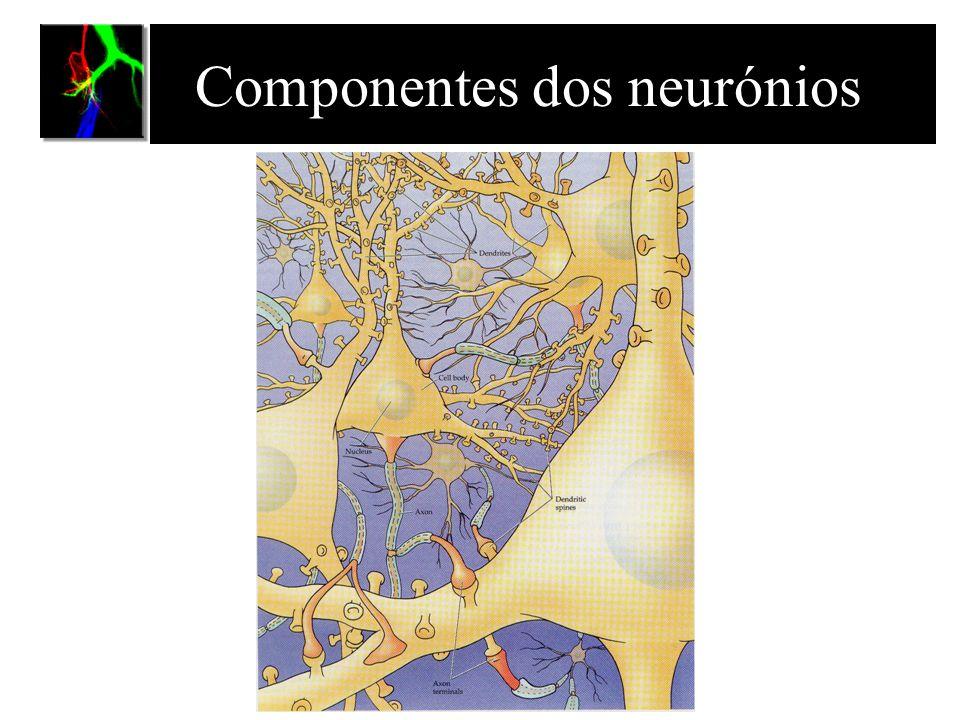 Componentes dos neurónios