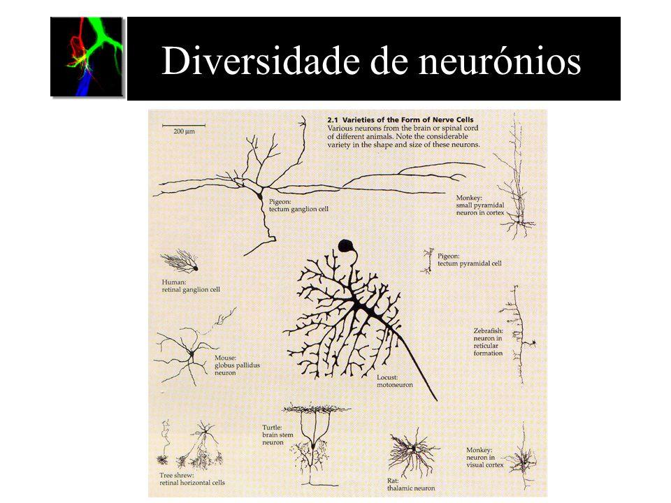 Classificação dos neurónios Funcional: –Neurónios sensoriais –Neurónios motores –Inter-neurónios Estrutural: –multipolar –bipolar –monopolar