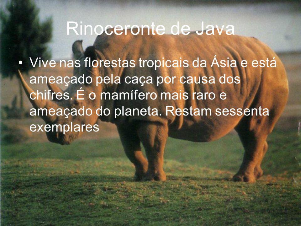 Rinoceronte de Java Vive nas florestas tropicais da Ásia e está ameaçado pela caça por causa dos chifres. É o mamífero mais raro e ameaçado do planeta